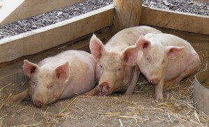 """Three Little Pigs"". Some rights reserved (CC BY 2.0) by ""Trish"". Sourced from Flickr"