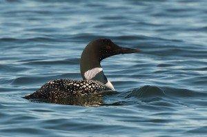 A loon at Beacon Shores, MN